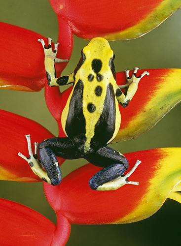 colorful-frog